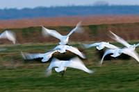 Whooper swan, Cygnus cygnus, Germany, Europe