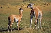Guanaco Lama guanicoe mother and calf, child, Chile   Guanaco is a camelid and closely related to the domestic Lama and Alpaca  America, South America...