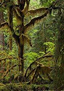 Temperate rainforest. Big leaf maple Acer macrophyllum tree covered in moss in the Quinault Valley temperate rainforest. Photographed in the Olympic N...