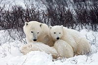 Polar Bear (Ursus maritimus) with cubs, Churchill, Canada (November 2005)