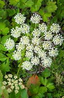 Wild angelica Angelica sylvestris in flower. Photographed on the Isle of Jura, Inner Hebrides, Scotland, UK, in July.