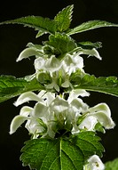 White Dead_nettle Lamium album in flower. Photographed in Dorset in the United Kingdom.