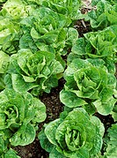 Romany lettuces, Lactuca sativa. Group of lettuce in the ground.