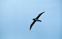 Light_mantled Sooty Albatross Phoebetria palpebrata In flight