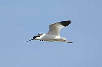 Eurasian Avocet Recurvirostra avocetta adult in flight, Norfolk, England