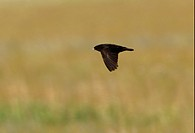 Black Lark Melanocorypha yeltoniensis adult male, in flight, Aqmola Province, Kazakhstan, june