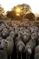 Rebaño de ovejas merinas  Dehesa de encinas en el Valle de Alcudia  Ciudad Real  Castilla La Mancha  España