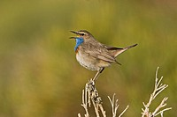 Bluethroat Luscinia svecica cyanecula adult male, singing from broom, Sierra Gredos, Central Spain, may