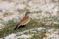 Puna Miner Geositta punensis adult, standing on tussock in saltflats, Jujuy, Argentina, january