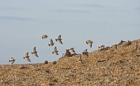 Snow Bunting Plectrophenax nivalis flock, winter plumage, in flight over shingle, Norfolk, England