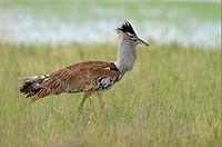 Kori Bustard Ardeotis kori adult in long grass, Etosha, Namibia