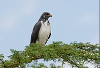 Augur Buzzard Buteo augur adult, perched in treetop, Lake Naivasha Kenya, october