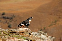 Jackal Buzzard Buteo rufofuscus Adult perched on rock, Giant´s Castle, South Africa