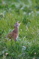 Corncrake Crex crex adult, calling, standing in vegetation, North Uist, Outer Hebrides, Scotland