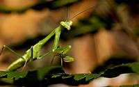 Praying mantis, order Mantodea.  Photographed in the mountains of Costa Rica