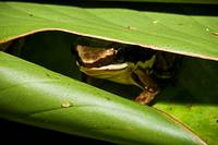 Poison-dart frog, Colostethus sp , hidden in a heliconia leaf  Photographed in Costa Rica