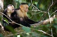 Mother capuchin monkey, Cebus capucinus, with child  Photographed in Costa Rica