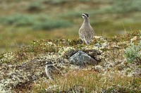 Eurasian Dotterel Charadrius morinellus chick, with adult in distance, in montane habitat, Jotunheimen, Norway