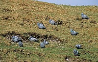 Rock Dove Columba livia adults, group on grass, Islay, Inner Hebrides, Scotland