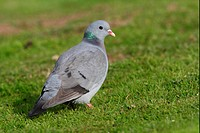 Stock Dove Columba oenas adult, standing on short grass, Norfolk, England, october