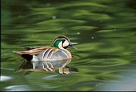 Baikal Teal Anas formosa Drake swimming _ calling courtship display _ spring FL011094 S