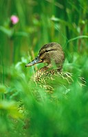Mallard Anas platyrhynchos adult female, in vegetation, Cromford Canal, Derbyshire, England