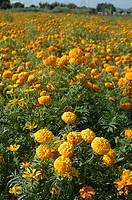 Cempoalxochitl marigolds, used in 'Day of the Dead' offerings. Morelos. Mexico