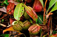 Great Pitcher-Plant (Nepenthes maxima)