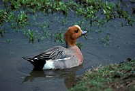 Duck _ Wigeon Anas penelope Male on water / calling