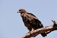 Tawny Eagle Aquila rapax Kenya