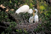 Great Egret Casmerodius albus adult, feeding chicks at nest, Florida, U S A