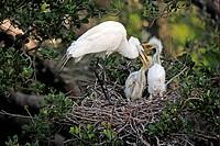 Great Egret Casmerodius albus adult, feeding chicks at nest, Florida, U S A