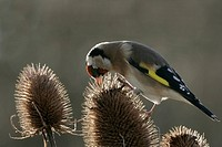 Goldfinch Carduelis carduelis adult feeding on Teasel Dipsacus fullonum, backlit