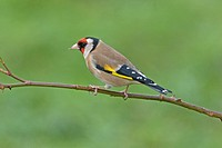 Goldfinch Carduelis carduelis adult, perched on rose stem, England, march