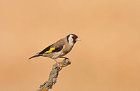 Goldfinch Carduelis carduelis adult, perched on twig, Spain