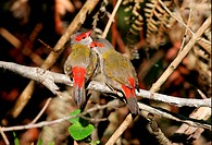 Red_browed Finch Neochimia temporalis adult pair, mutual preening, Southeast Queensland, Australia