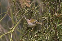 Goldcrest Regulus regulus adult, perched in yew, Norfolk, England