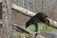 Black Bear (Ursus americanus), 1 year and a half old cub climbing a tree to be safe. Minnesota, USA