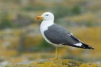 Lesser Black_backed Gull Larus fuscus adult, standing on lichen covered rock, Farne Islands, Northumberland, England, june