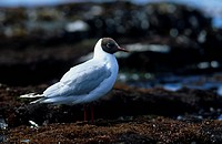 Brown_hooded Gull Larus maculipennis On shore _ Sea Lion Island, Falklands