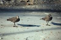 Grey Gull Larus modestus Two on sand