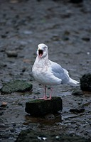 Iceland Gull Larus leucopterus Adult in winter yawning/Ayre,Scotland