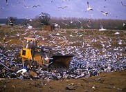 Gulls at rubbish tips _ mostly Black_headed Gulls Larus ridibundus