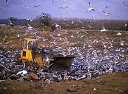 Gulls at rubbish tips _ mostly Black_headed Gulls Larus ridibundus