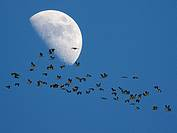 Moon and crane in flight