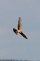 Montagu´s Harrier Circus pygargus adult female in flight, displaying over nest site, Poland, may