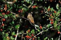 Planalto Hermit Phaethosnis pretrei Perched on on branch / red berries / Brazil