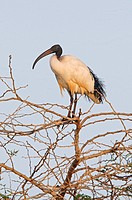 Sacred Ibis Threskiornis aethiopicus adult, perched in tree, Lake Awassa, Great Rift Valley, Ethiopia, april
