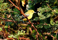 Common Iora Aegithina tiphia adult, non_breeding plumage, perched in bush, Gujarat, India, november