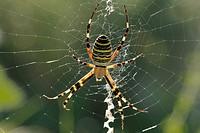 Wasp spider (Argiope bruennichi), female. Vaucluse, Provence, France